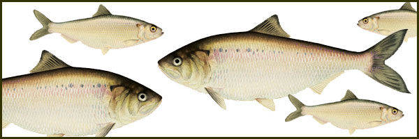 shad and herring graphic 450